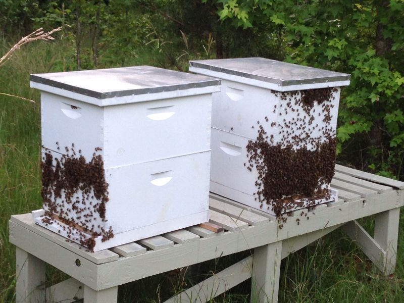 honey bees for sale - photo#3
