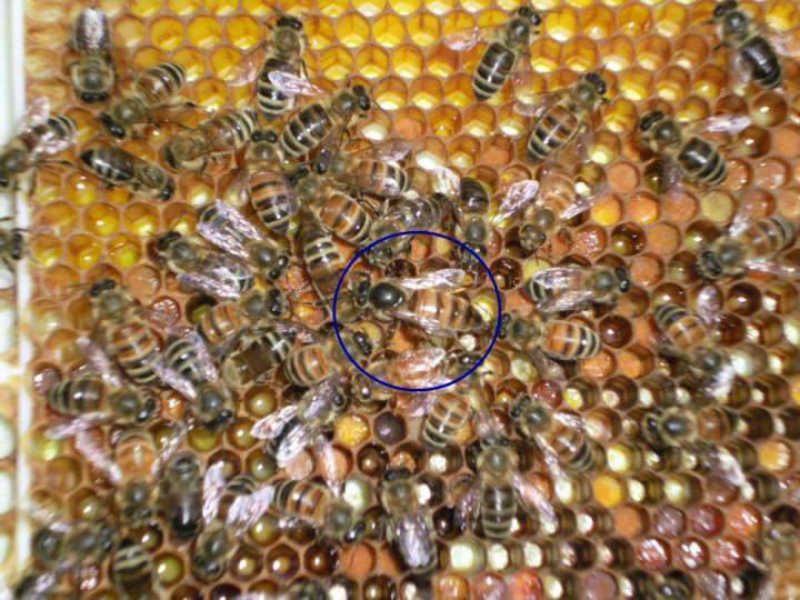 honey bees for sale - photo#10