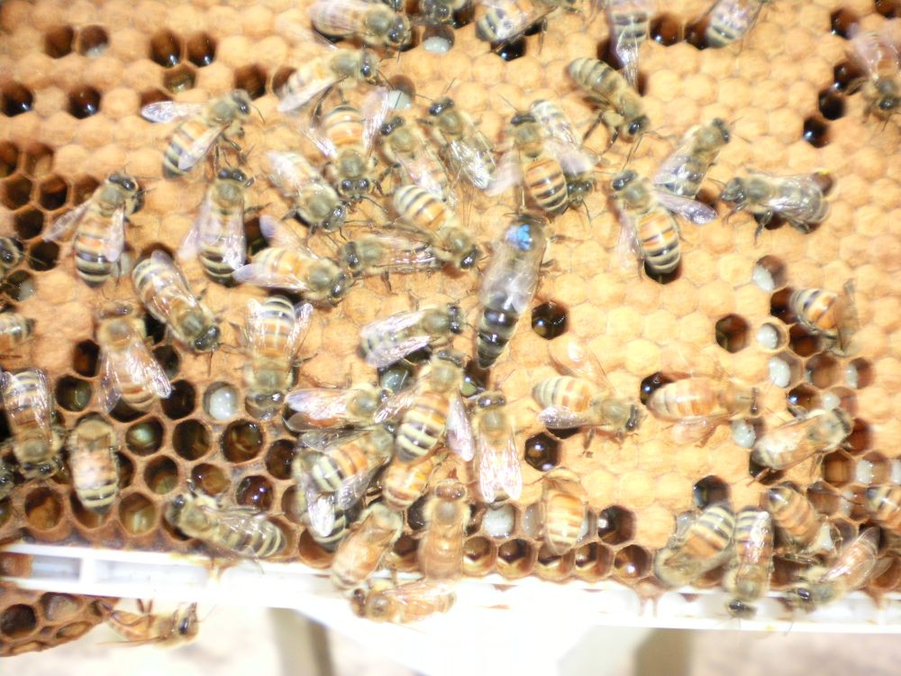 honey bees for sale - photo#8