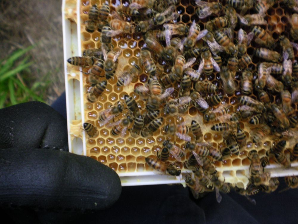 honey bees for sale - photo#4